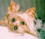 dog breed terrier