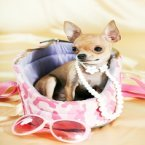 chihuahua puppy pictures