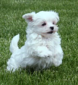 newborn puppy maltese rescue adoption