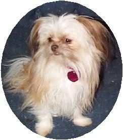 Chihuahua Dog Clothes Shih Tzu Chihuahua Mix Adopt Puppy And Cute