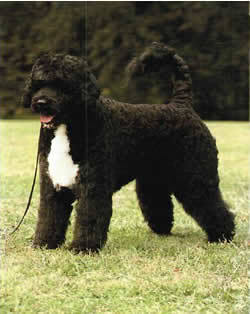 portuguese water dog, rescues, portugese water dog rescue