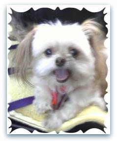 dog breeder Chihuahua & Shih Tzu
