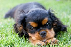 canine ear infection