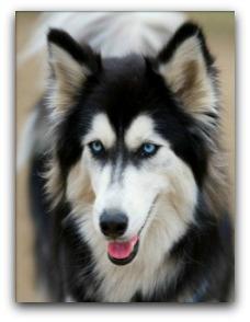 Husky Dog Breed