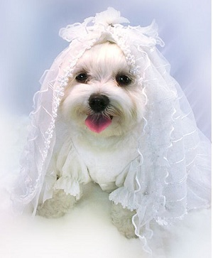Strikingly Beautiful Dog Wedding Clothes Order To Your
