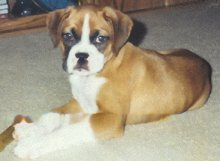 Lucy, Our Angel Boxer Dog Breed