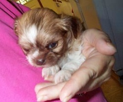 Tiffany our Shih Tzu - Chihuahua dog