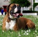 cancer dog lung