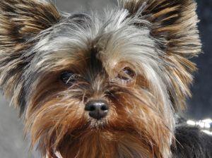 canine inflamatory bowel disease