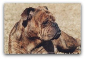 english bulldog adoption