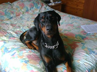 Doberman Pinchers are loveable too