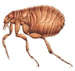 natural flea killer
